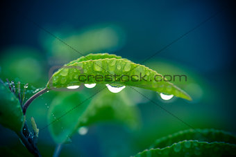 Green leaf with four raindrops