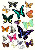 Large Collection of Butterflies