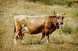 Single Cow