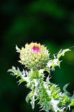 Bur Flower