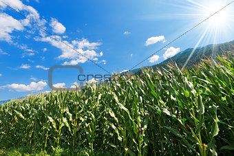 Green Corn Field in Mountain - Trentino Italy