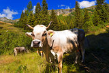 White and Brown Cow in Mountain