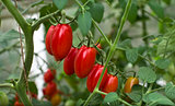 Tomatoes on a branch.