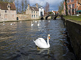 Swans on the canal in Bruges, Belgium.