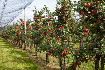 Apple tree row
