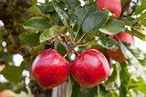 Twin apples