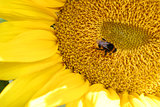 Bumblbee on sunflower
