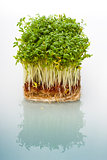 Shoots of cress