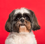 Close-up of a Shih Tzu in front of a pink background