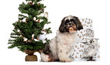 Shih Tzu sitting next to a Christmas tree and presents in front