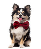 Chihuahua sitting and wearing a bow tie in front of a white back