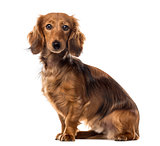 Dachshund sitting in front of a white background