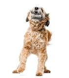 Crossbreed dog barking in front of a white background