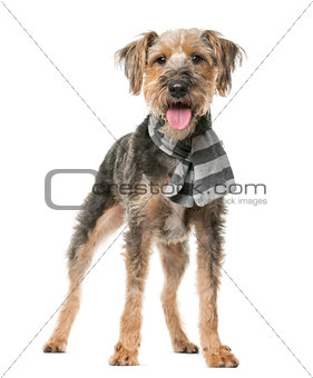 Fox Terrier wearing a scarf in front of a white background
