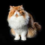 Red big persian cat costs on dark background