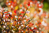 Autumn natural background - close up photo of green and red leav