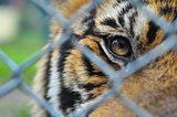 the eyes of little tiger look pass steel net