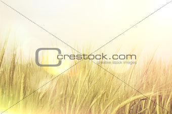 Abstract wheat with retro effect