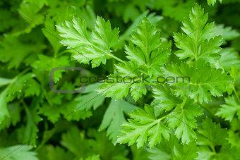 Green garden parsley