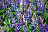 Colorful lupines all over