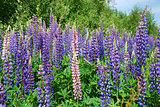 Colorful lupines