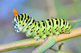 A close up of the caterpillar