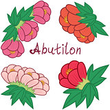 Cute abutilon set, colorful flowers collection