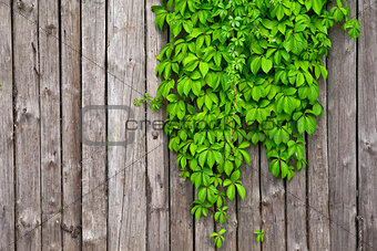 a fence made of wood with wild grapes curly ivy