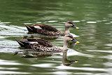 Spot-billed duck swimming in water