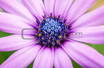 Beautiful purple daisy flower macro close up in garden