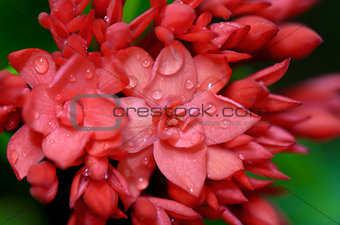 Close up red flower of West Indian Jasmine ( Ixora chinensis Lam