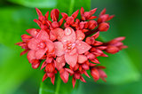 Red flower of West Indian Jasmine ( Ixora chinensis Lamk )