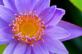Close up top of Purple Lotus ( Nymphaea Nouchali )