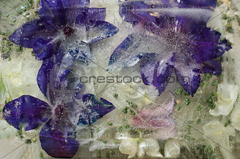 Background of   clematis  flower frozen in ice