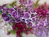 Background of   sweet william  flower frozen in ice