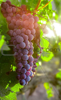 Growing cluster blue grapes in leaves