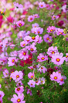 Beautiful flowers cosmos
