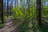 Footpath in spring forest.