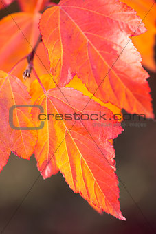 Amazing Colorful Autumn leaves background, soft focus