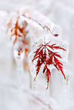 Icy winter leaf