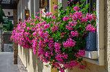 Beautiful pink flowers pelargonium hang-downing in macro