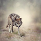 Gray Wolf Walking