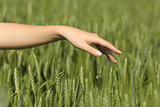 Woman hand touching softly wheat in a field