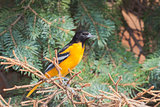Oriole in a spruce tree
