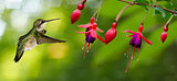 Hummingbird feeding on Hardy Fuchsia Flowers