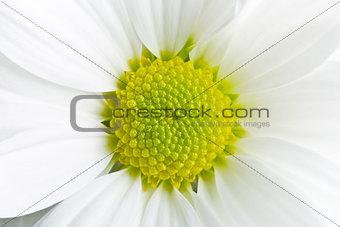 Chrysanthemum daisy
