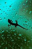 Gecko Climbing On Wet House Glass Window