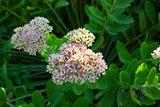 Orpine flowers. sedum prominent.