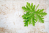 citronella leaf on grunge wood