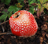 Poisonous amanita mushroom